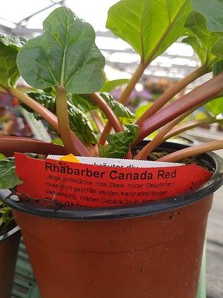 Rhabarber Canada Red
