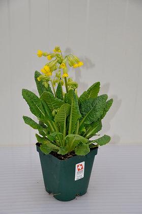 Schlüsselblume Primula veris ssp. veris