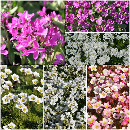 Frühlingsblüher Pink Paradise - Set
