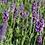 Thumbnail: Lavendel 'Hidcote Blue'