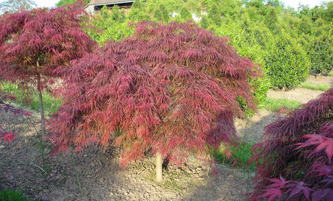 Japanischer Ahorn, Acer palmatum 'Garnet'