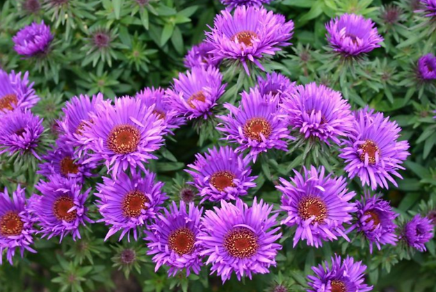 Rauhblatt-Aster 'Purple Dome'