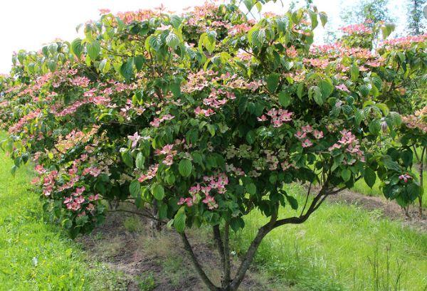Japanischer Blumen-Hartriegel, Cornus kousa 'Satomi'