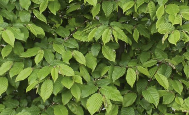 Heckenpflanze Hainbuch, Carpinus betulus