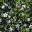 Thumbnail: Immergrün 'Marie' ®