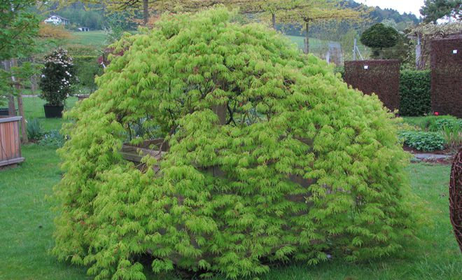 Japanischer Ahorn, Acer palmatum 'Dissectum'