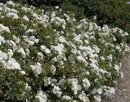 Bodendecker-Rose 'Schneeflocke' C
