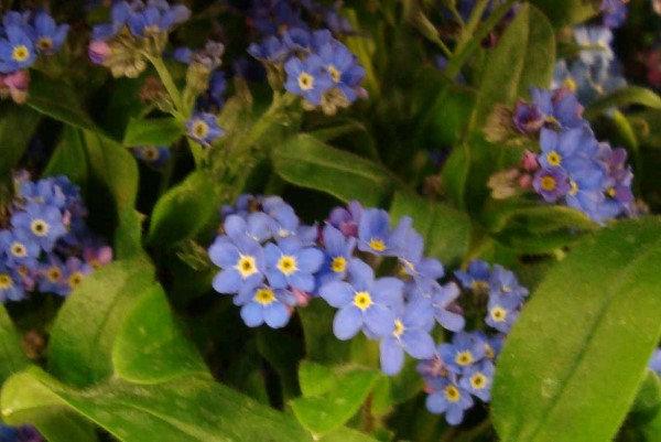 Myosotis Mon amie, blühend, blau