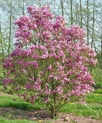 Purpur-Magnolie, Magnolia 'Susan'