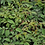 Thumbnail: Zwerg-Spiere 'Astilbe chinensis var. pumila'