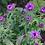 Thumbnail: Rauhblatt-Aster 'Purple Dome'