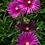 Thumbnail: Mittagsblume 'Delosperma cooperi'