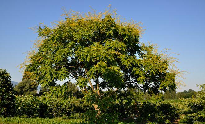 Blasenbaum, Koelreuteria paniculata