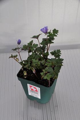 Anemone blanda 'Blue Shades' P1