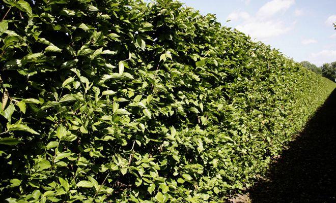 Heckenpflanze Kornelkirsche, Cornus mas