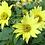 Thumbnail: Sonnenblume 'Lemon Queen'