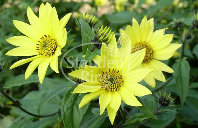 Sonnenblume 'Lemon Queen'