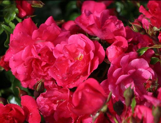 Bodendecker-Rose 'Heidetraum' C