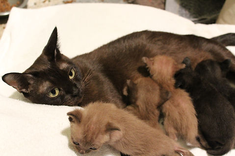 chatons Burmèse et Bombay