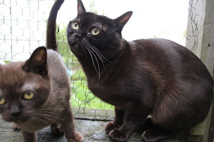 chat burmèse