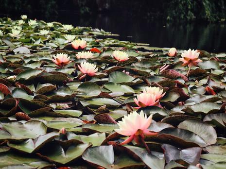 Lotus Pond At Bali Garden