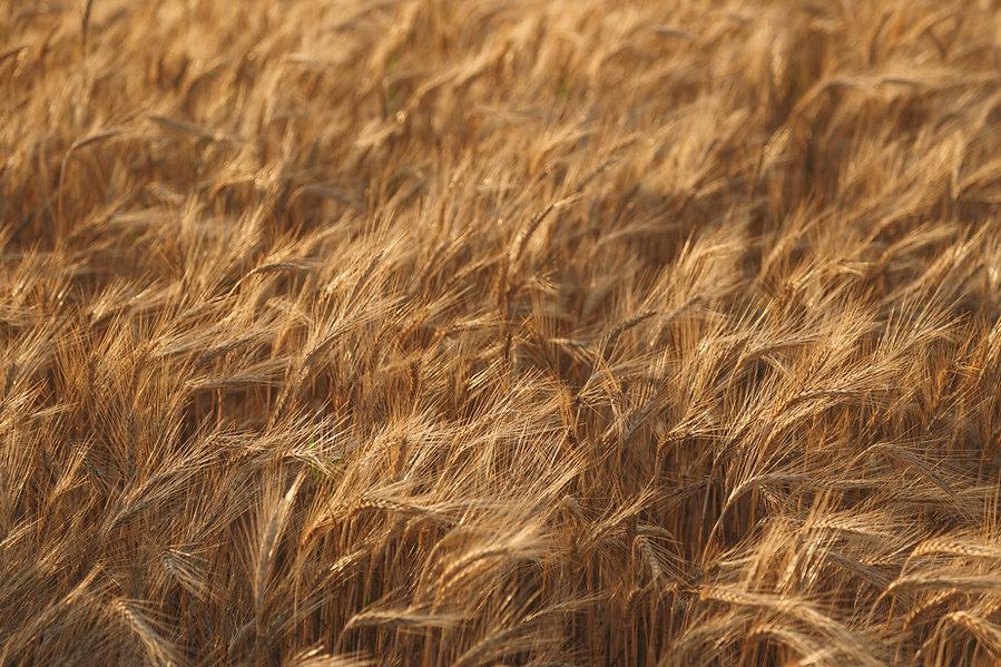 fieldofwheatgold.jpg