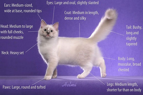 ragdoll-breed-standard_edited.jpg