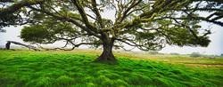 Koa a Music Tree