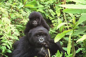 Gorilla_mother_and_baby_at_Volcans_Natio