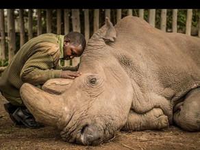 The Last Northern White Male Rhino