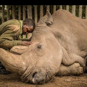 The Last Northern White Male Rhino