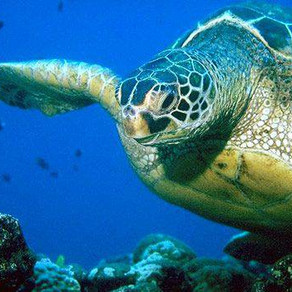 The Danger of Plastic and Marine Litter to Sea Turtles