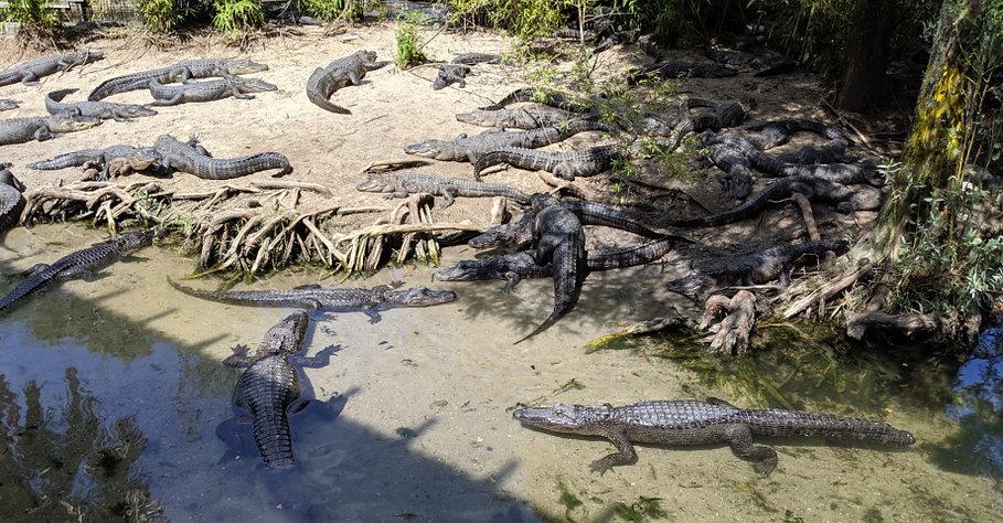 The main alligator habitat at Alligator Adventures in North Myrtle Beach area