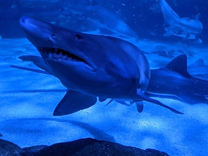 One of the many sharks at Ripley's Aquarium Myrtle Beach
