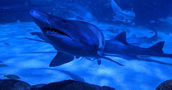 Shark swimming next to you at Ripley's Aquarium in Myrtle Beach, South Carolina
