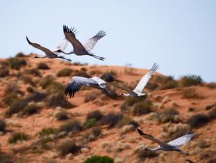 Birdsvile_Birds-Flying.jpg