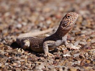 Birdsville-Lizard_web.jpg