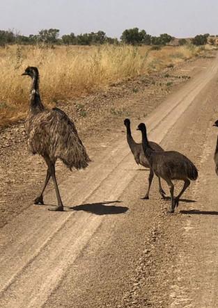 Birdsville-Emus_web.jpg