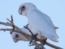 Birdsville-Birds-Corellas_web.jpg