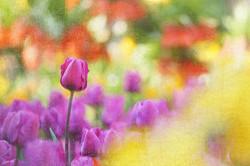 Tulpen, bunt