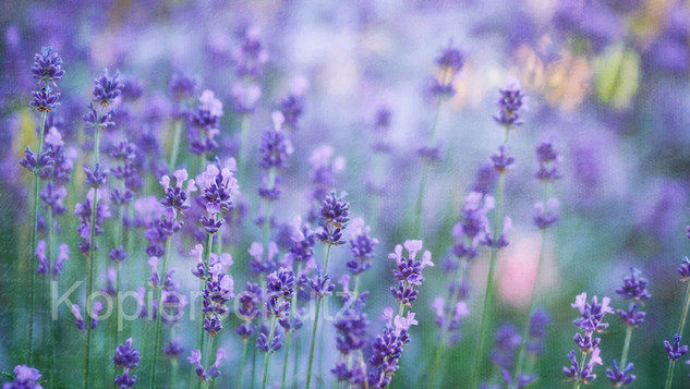 Lavendel, Panorama.jpg