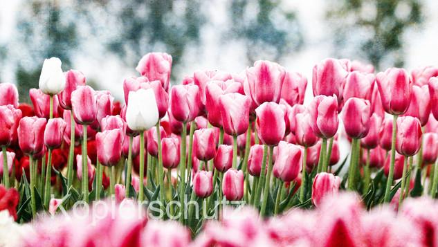 Tulpen, Panorama.jpg