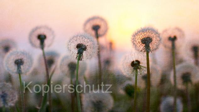 Pusteblumenwiese ,Panorama.jpg