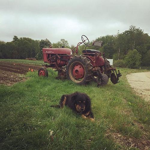 Old dog, older tractor