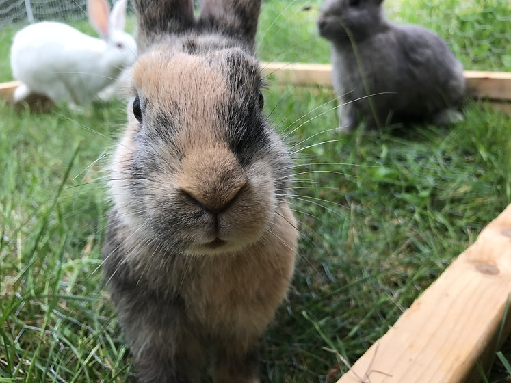 Pasture raised rabbits