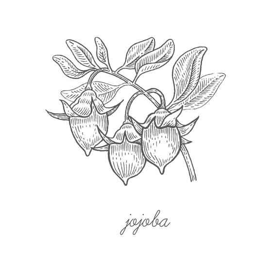Jojoba Oil สุดยอดสารสกัดที่ให้ความชุ่มชื้นกับผิวและเส้นผม