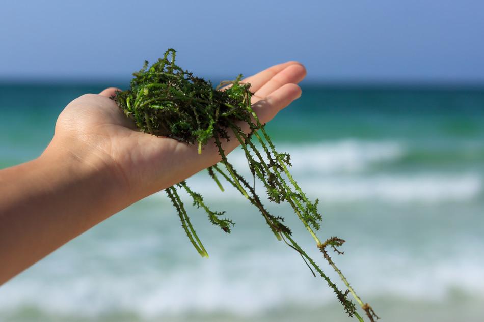 สาหร่ายทะเล... สิ่งมีชีวิตที่อุดมไปด้วยสารอาหารผิว