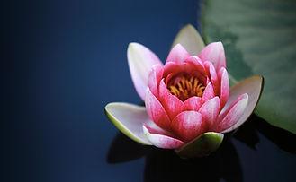 water-lilies-1825477_1920.jpg