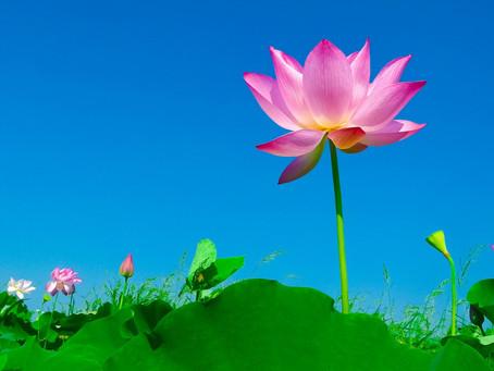 Semana Santa  - No mud, no Lotus