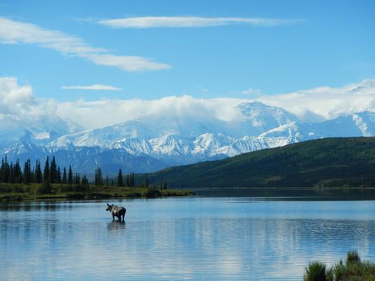 moose-in-lake.jpg